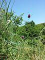 Allium rotundum sl16.jpg
