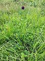 Allium rotundum sl7.jpg