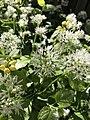 Allium ursinum 126397537.jpg