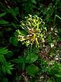 Allium victorialis IMG 4839^.jpg