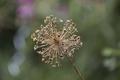 Alliumstipitatum-20130806i.png
