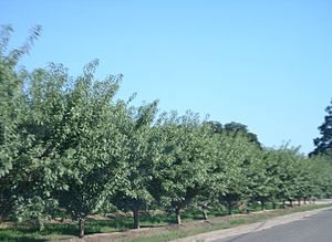 Turlock, California - An almond orchard just outside Turlock