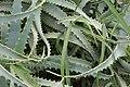 Aloe arborescens 5zz.jpg