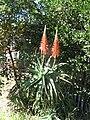 Aloe arborescens ou Babosa.jpg