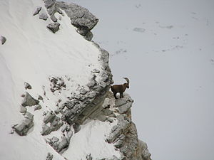 Alpine ibex - Ibex standing on cliff in winter.