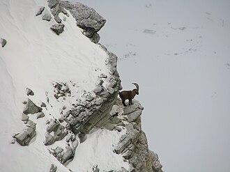 Alpine ibex - Ibex standing on cliff in winter.