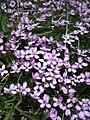 Alpine Flowers - Silene acaulis - 003.jpg