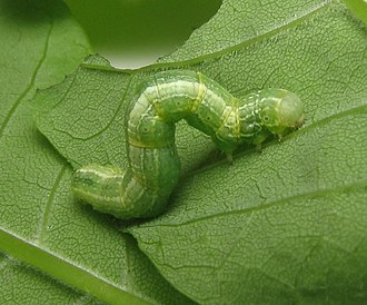 Alsophila pometaria - Image: Alsophila pometaria caterpillar. Fraxinus pennsylvanica