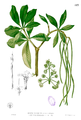 Alstonia scholaris Blanco1.113.png
