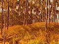 Alto do Cabuçu Plantação de Eucaliptos - panoramio.jpg