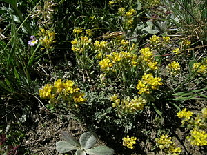Alyssum alpestre Alpen-Steinkraut.JPG