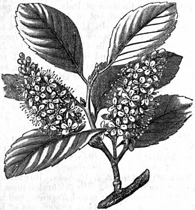 AmCyc Cherry Laurel.jpg