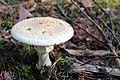 Amanita-Phalloides-Forest-2802335.jpg