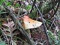 Amanita crocea8.jpg