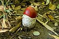 Amanita hemibapha 06.jpg