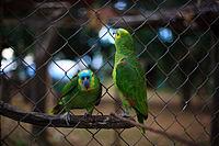 Amazonas aestiva reproduccion asexual