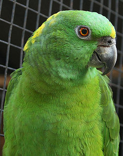 Amazona auropalliata -captivity-8.jpg