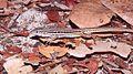 Ameivula ocellifera in Lençóis Maranhenses National Park - ZooKeys-246-051-g005-H.jpeg