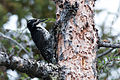 American Three-toed Woodpecker (7458249212).jpg