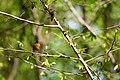 American robin (17837557136).jpg