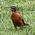 American robin (27101001553).jpg