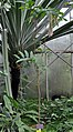 Amherstia nobilis tree.jpg