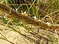 Ammophila arenaria flowers.jpg
