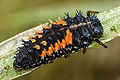 An orange and black spiky ladybird larvae.jpg