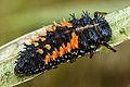 An orange and black spiky ladybird larvae.jpg
