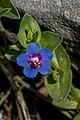 Anagallis arvensis, Crete 01(js).jpg