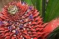 Ananas comosus-pineapple flowers (കൈതച്ചക്ക).jpg
