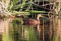Anas diazi Ciudad Guzman Wetlands.jpg