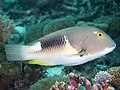 Anchor tuskfish (Choerodon anchorago) (46387010114).jpg