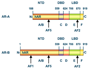 Androgen receptor - Structural domains of the two isoforms (AR-A and AR-B) of the human androgen receptor. Numbers above the bars refer to the amino acid residues that separate the domains starting from the N-terminus (left) to C-terminus (right). NTD = N-terminal domain, DBD = DNA binding domain. LBD = ligand binding domain. AF = activation function.
