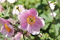 Anemone hupehensis-IMG 5556.jpg