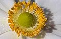 Anemone hupehensis var. japonica-bloom-stamen oblique PNr°0601.jpg