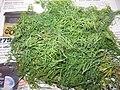 Anethum graveolens - Kopr vonný 02.jpg