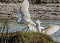 Angry Egret (15483388310).jpg