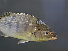 Anilocra capensis on Lithognathus aureti