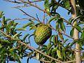 Annona muricata 1 (1).jpg