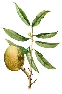 Annona reticulata (Custard Apple' o Wild Sweetsop)