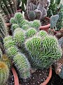 Another cristate Opuntia (3778663597).jpg