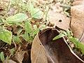 Ant on a dried leaf.JPG