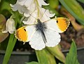 Anthocharis cardamines. Orange Tip male - Flickr - gailhampshire.jpg