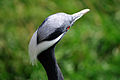 Anthropoides virgo -Hamerton Zoo, Cambridgeshire, England -head-8a.jpg