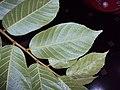 Antiaris toxicaria 06.JPG