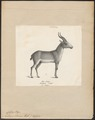 Antilope saïga - 1809-1845 - Print - Iconographia Zoologica - Special Collections University of Amsterdam - UBA01 IZ21400241.tif