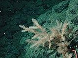 Antipathes coral