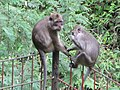 Apes - panoramio.jpg