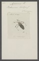 Apiomerus - Print - Iconographia Zoologica - Special Collections University of Amsterdam - UBAINV0274 041 05 0002.tif